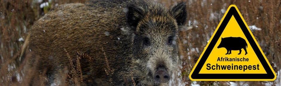 Afrikanische Schweinepest auf Bundeswehr-Übungsplätzen